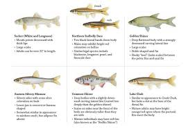 Baitfish Information Laws Rules Fishing Fishing
