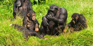 Image result for chimpanzee na guine bissau