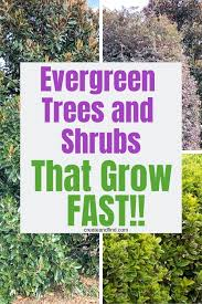 fast growing shrubs evergreen trees