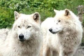 wolf skin rug large arctic rugrats uk wolf skin rug