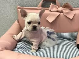 teacup french bulldog puppies. Chloe Mini French Bulldog Intended Teacup Puppies