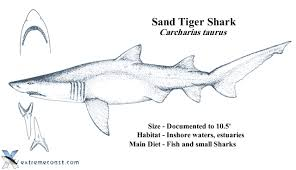 sand tiger shark diagram sand database wiring diagram images extremecoast com u2022 view topic what does a sandbar or sand tiger
