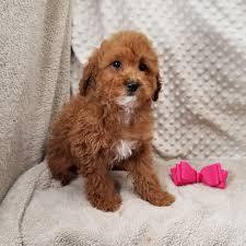ckc miniature red poodles 1 ckc miniature poodle