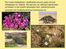 Адаптация растений к высоким температурам презентация Пустыни покрывают приблизительно одну пятую поверхности Земли Несмотря на неблагоприятные условия в пустынях произрастает значительное количество