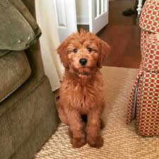 F1b Mini Goldendoodle Size Chart Goldenacresdogs Com