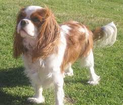 cavalier king charles spaniel full grown. Simple Spaniel Cavalier King Charles Spaniel To Full Grown I