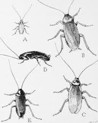 Dubia Roach Growth Chart Cockroach Wikipedia
