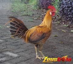 What are you waiting for? Beberapa Ciri Ciri Khas Ayam Peru Asli Sampai Waktu Ini S128 Resmi Sabung Ayam Dari Negara Filipina Zeusbola