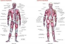 Superficial And Deep Muscles Chart Flash Anatomy