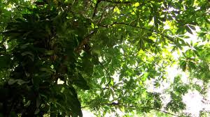 amazon rainforest tree leaves. HD Rights Managed Stock Footage 638104168 With Amazon Rainforest Tree Leaves