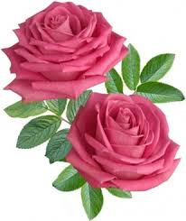 hd rose flower. Contemporary Rose Blooming Red Roses 02 Hd Picture Inside Hd Rose Flower T