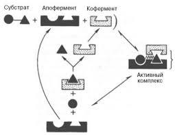 Реферат Механизмы действия ферментов Реферат Механизмы действия ферментов