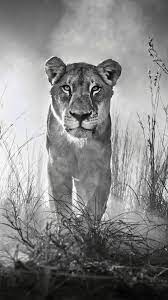 Animals #Lion 4k Black And White ...
