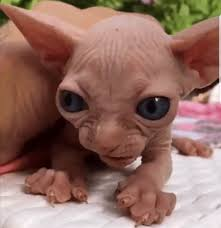 angry hairless cat. Brilliant Angry Inside Angry Hairless Cat A
