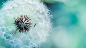 dandelion flowers wallpapers hd pictures