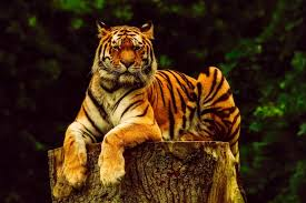 images of tigers. Simple Tigers The Malayan Tiger Is National Animal Of Malaysia Siberian Tiger  South Korea And Royal Bengal Inside Images Of Tigers T