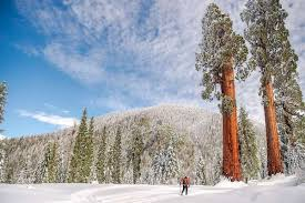 California's largest private giant sequoia stand saved from development -  SFChronicle.com