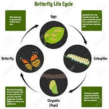 Butterfly Life Cycle Diagram With All Stages Including Eggs Caterpillar