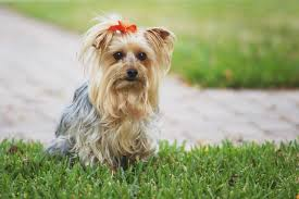 silky dog. yorkshire terrier dog with red bow silky r