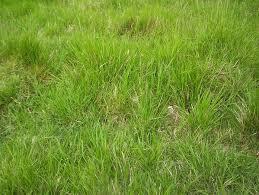 Tall Grass Texture Seamless Grass texture 2 Tall Grass Texture