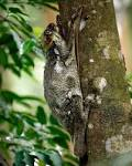Images & Illustrations of colugo