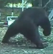 Bear hit in nuts while scratching back | Funny animal pictures, Funny  bears, Funny photoshop