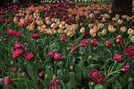 washington tulips 2 of 21 roozen garden skagit valley tulip festival washington