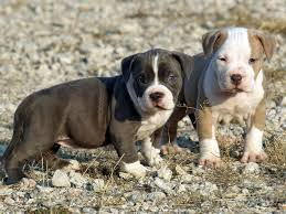 pitbull dog puppies.  Pitbull American Pitbull Cute Puppies Images Intended Dog