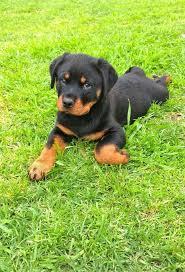 Rotty Puppy Rottweiler Puppies Rottweiler German Dog