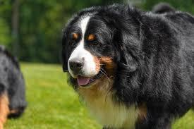 bernese mountain dog mix. Contemporary Mountain Bernese Mountain Dog Mix Image On Dog Mix S