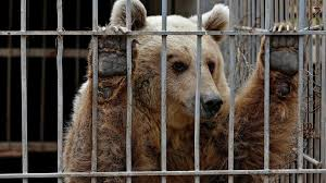 zoo animals in cages.  Animals Lula An Abandoned Bear In A Cage At Muntazah AlNour Zoo For Zoo Animals In Cages K