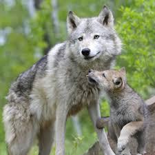 wolf puppies wallpaper. Contemporary Wallpaper Wolf Puppy Wallpaper 1024x1024 Intended Wolf Puppies Wallpaper G