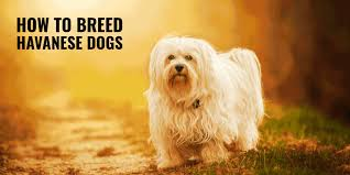 Havanese Growth Chart How To Breed Havanese Dogs Background Rearing Health Faq