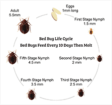 Size Of Bed Bugs Chart Bed Bug Life Cycle 7 Stages Of A Bed Bugs Life Cycle You