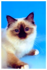 Small Picture 106 best Cats Birman images on Pinterest Animals Html and