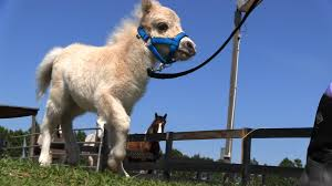 baby mini horse. Exellent Horse Inside Baby Mini Horse
