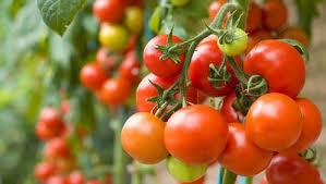 tomato ile ilgili görsel sonucu