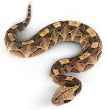 Most vipers live in the tropics, but some are found in cooler climates. Viper Snake Facts Are Vipers Poisonous Dk Find Out