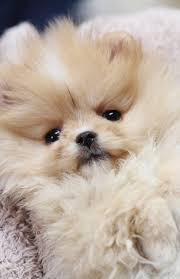 559 best my poms images on Pinterest