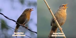 Gambar tersebut bisa anda download langsung, caranya silahkan klik. Burung Flamboyan Jantan Dan Betina Burung Sikatan Londo Si Penyanyi Malam Yang Bersuara Merdu Kumparan Com Burung Ini Memiliki Ukuran Tubuh Yang Kecil Panjangnya Sekitar 11 Cm Dengan Ekor Arianne Lipka