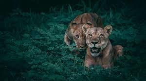 Lioness 4K Wallpaper #9