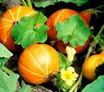 Potimarron - Courge - Jardinier-Amateur