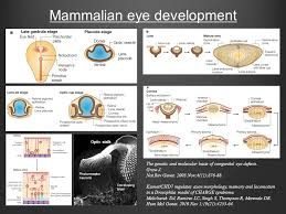 mammalian eye development