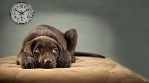 chó bị ngộ độc socola