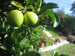 Tips For Picking The Best Fruit Tree At Annual January Sale Fruit Tree Sale Houston