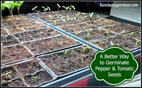 How To Germinate Flower Seeds Paper Towel A Better Way To Germinate Pepper And Tomato Seeds Sanctuary Gardener