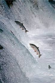 Image result for salmon leaping upstream