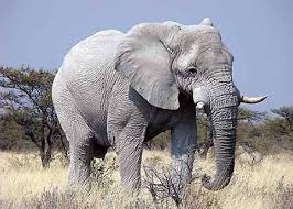 white elephant animal. Exellent Animal The Legend Of The White Elephant Began In Southeast Asia Home White  Elephant In Metaphysics We Learn That Any Animal Represented By Color  Intended Elephant Animal Crystalinks
