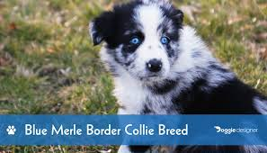 blue merle border collie breed info