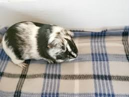 guinea pig fleece blanket diy tutorial